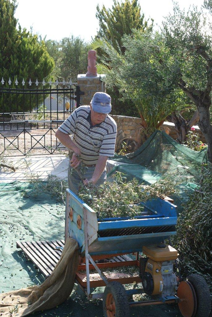Olivenernte Denzel