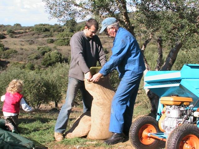 unsere Olivenernte